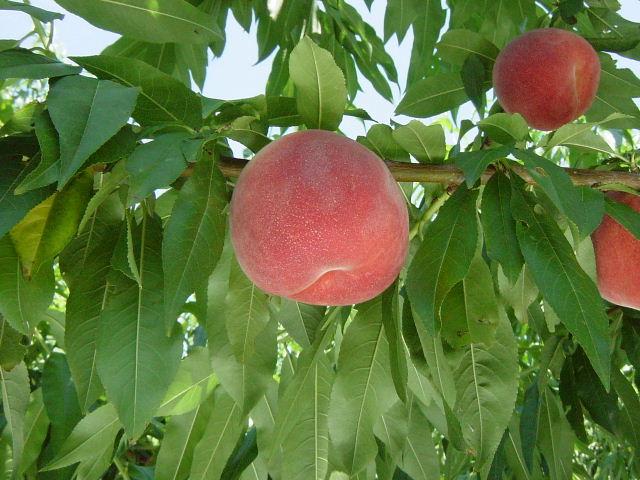 金果園 桃